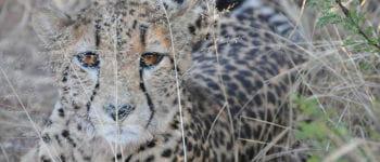 Smuk gepard i Sydafrika
