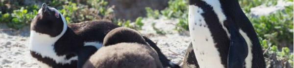 på Kaphalvøen i Sydafrika bor der pingviner