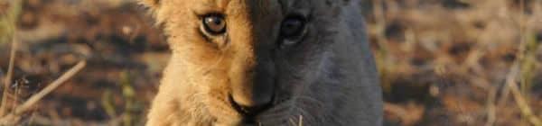 Løveunge i Sydafrika