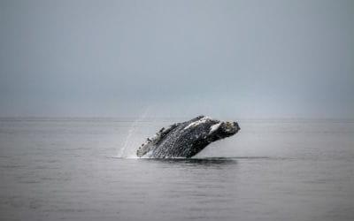 Du kan se pukkelhvaler, når du rejser nær Hermanus i Sydafrika