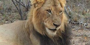 Rejs til Amakhala i Sydafrika og se de flotte løver