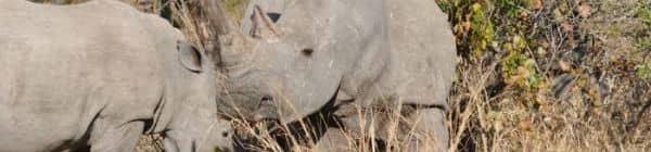 To næsehorn i Sydafrika