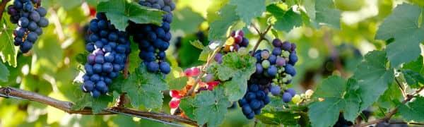 Sydafrika er særligt kendt for sine fantastiske vine