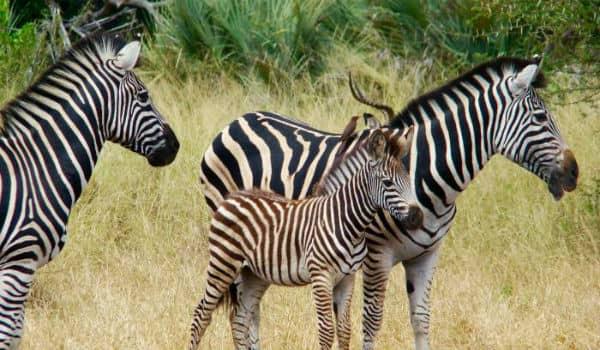Zebrafamilie i Sydafrika