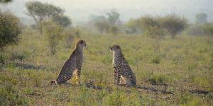 Der er mange leoparder i Sydafrika grundet det varme klima