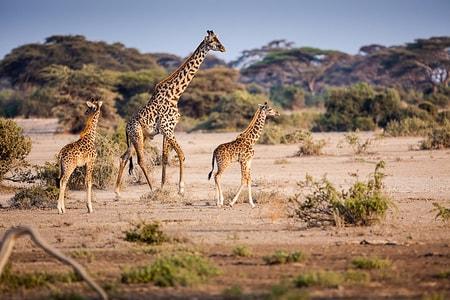 Giraffer på Serengeti