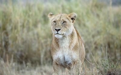 Rejs til Tanzania og oplev løver