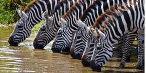 Du kan opleve mange zebraer på din Tanzania rejse