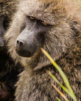 På din rejse til Tanzania kan du opleve flere forskellige arter af aber