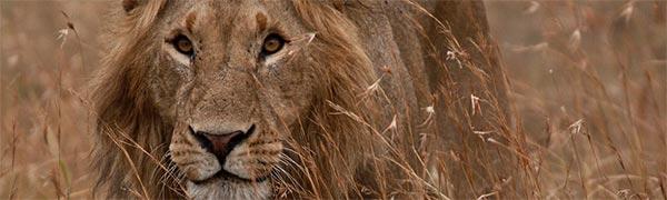 Tag på safari i Tanzania of oplev løver helt tæt på