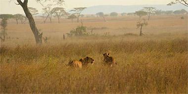 Løver på rejse til Tanzania