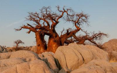 Smukt baobabtræ i Arusha