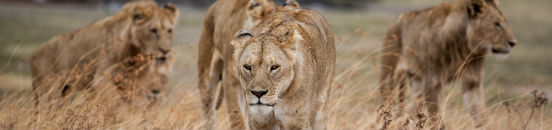 Oplev løver i Tanzania