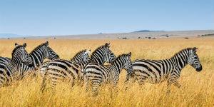 Se vildtvandring med gnuer og Zebra i Ngorongoro Nationalpark