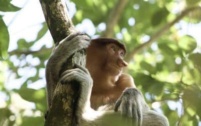 Borneos næseaber
