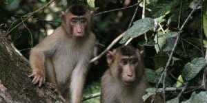 På rejser til Borneo og Malaysia vil du opleve mange aber
