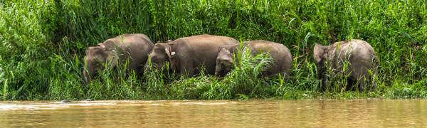 Elefanter på Borneo