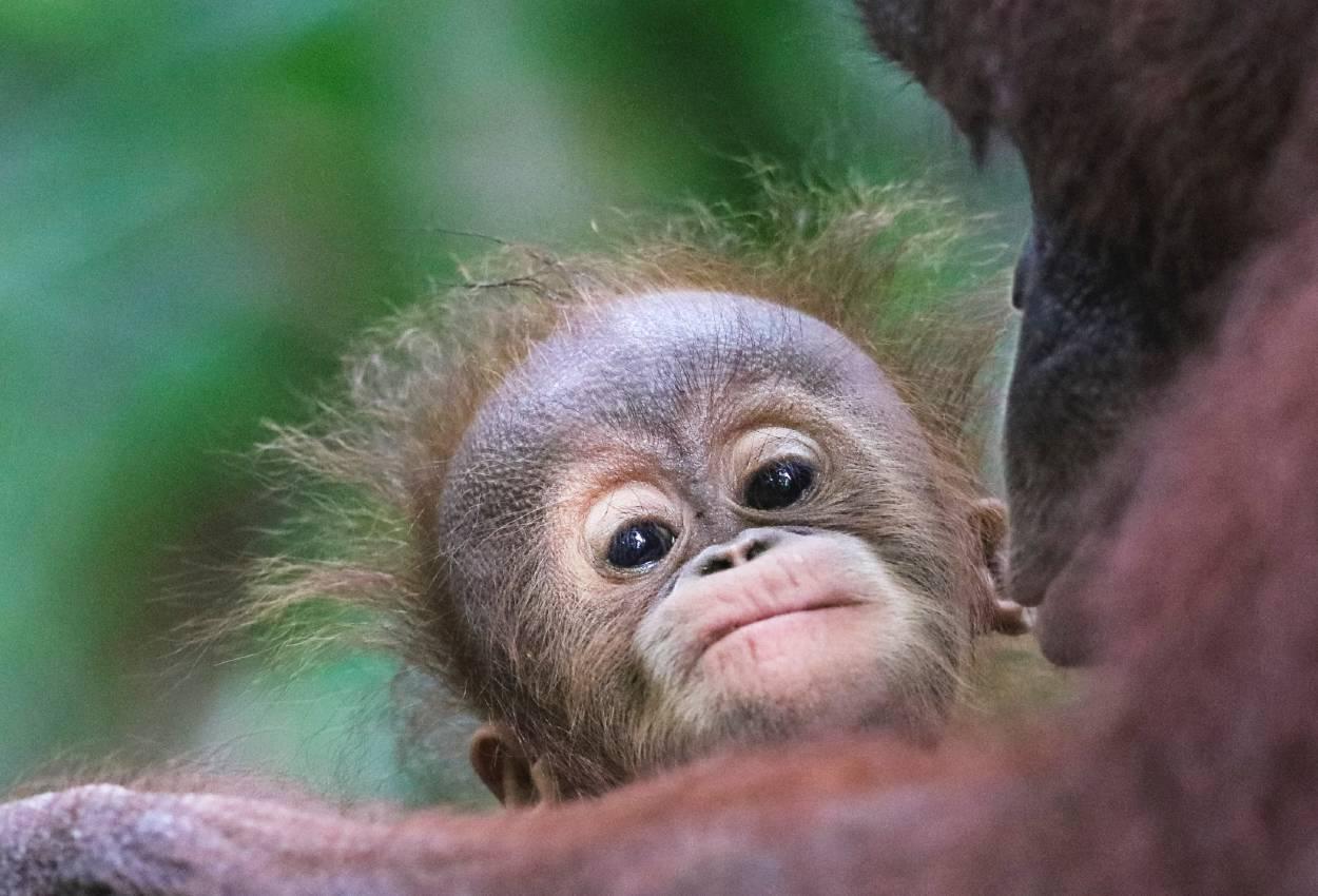 Støt Sepilok Orang-Utan Rehabilatation Centre på din rundrejse i Borneo