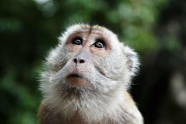 Rejs til Borneo og se makakeaber