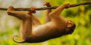 På din Borneo rejse kan du opleve aber