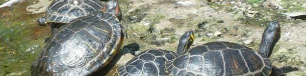 Se skildpadder på din rejse til Borneo