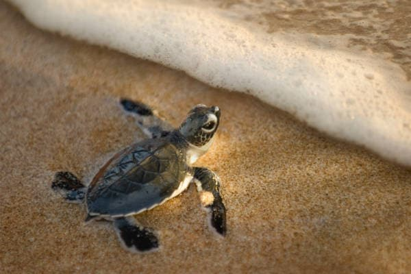 Bestil rejse til Borneo gennem Kipling Travel, vær med til at slippe skildpadder ud i vandet