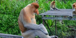 Se de sjove næseaber på din rejse til Borneo