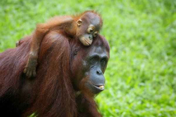 Besøg Sepilok Orangutang Center på din rejse til Borneo