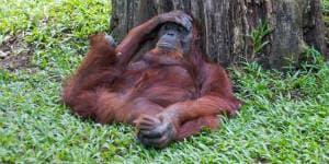 Orangutang er værd at opleve på din rejse til Borneo