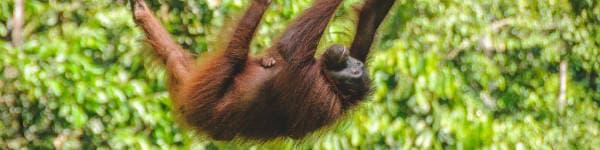 Borneo rejser byder på orangutanger
