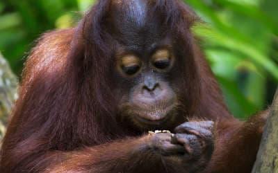 Besøg Sepilog Rehabilitation Center med Kipling Travel på din Borneo rejse