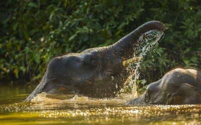 Se de smukke elefanter på din Borneo rejse