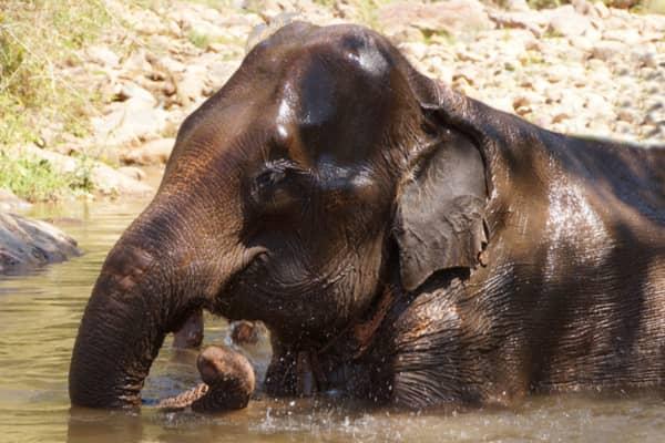 I Myanmar kan du opleve de smukke elefanter