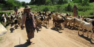 Der kan være mange geder på vejene i Myanmar
