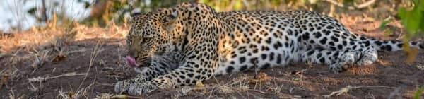 Leopard i Indien