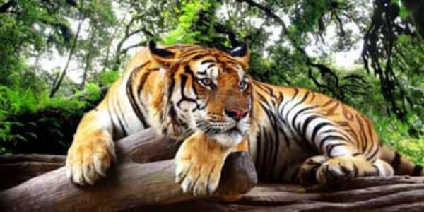 Smuk tiger slapper af i Indien
