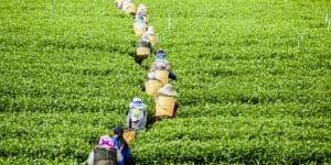 Rejs til Sri Lanka og køb te fra de mange teplantager