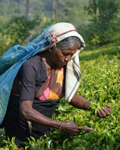 Se hvordan landbruget fungerer på din rejse til Sri Lanka
