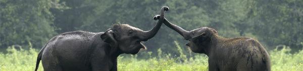 På Sri Lanka rejser kan du se elefanterne lege