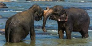 Oplev elefant børnehjemmet på Sri Lanka