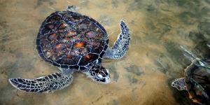 Se havskildpadder på Sri Lanka