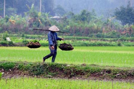Rismarkerne i Vietnam