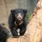 Læbebjørn i Indien