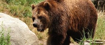 bjørne arter