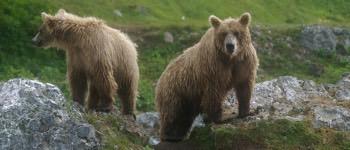 hvad spiser bjørne