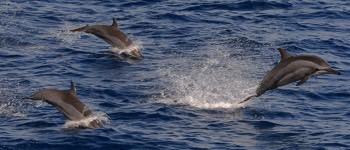 delfiner fakta
