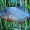 Rejs til Costa Rica og oplev piratfisken