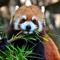 Den røde panda
