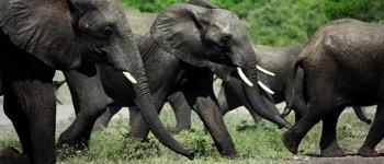 hvor længe er en elefant drægtig