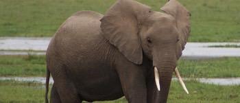 elefant unger